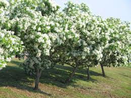 trees with white flowers ornamental trees