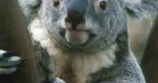 koala meme album on imgur