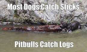 Pitbull Meme - pitbull meme by coolislandsong on deviantart