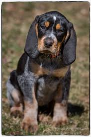 bluetick coonhound with cats coonhound dog google search dogs pinterest bluetick