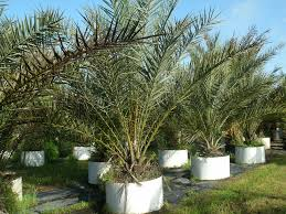 34 best buy medjool date palm trees buy dactylifera