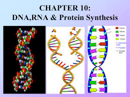 100 dna replication and protein synthesis worksheet hayman