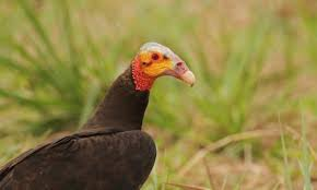 lesser yellow headed vulture introduction neotropical birds online