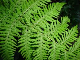 Free Picture Leaf Nature Fern Free Images Nature Forest Flower Green Botany
