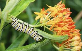 plant milkweed to aid monarch migration new jersey herald