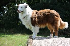 australian shepherd 1 jahr alt unser australian shepherd