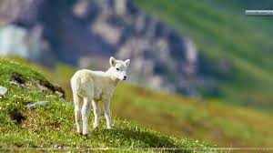 sheep backgrounds for pc full hd top backgrounds