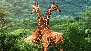 imagenes de amistad jirafas significado de soñar con jirafas youtube