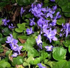 Fragrant Garden Plants The Search For Fragrant Spring Violets Capemay Com Blog