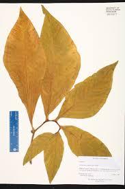 florida keys native plants syngonium podophyllum species page isb atlas of florida plants
