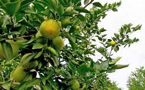 need to meet the bug killing the world s orange groves al
