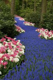 25 gorgeous muscari flowers ideas on pinterest spring flowering