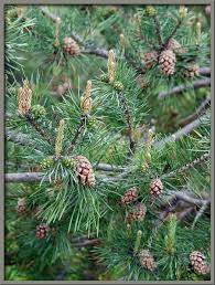 mic uk a up view of the scots pine