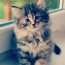hukum memandulkan kucing memandulkan kucing peliharaan