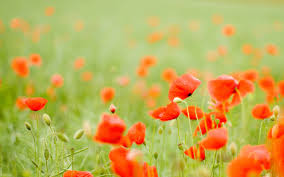 poppy wallpapers 38 pc poppy wallpapers in popular collection