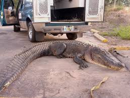 12 foot gator to tree apartment complex tbo
