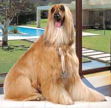 afghan hound grooming styles afghan hound the dogington post