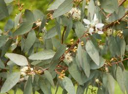 eucalyptus gunnii cider gum tree ornamental trees