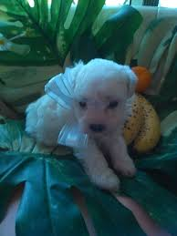 bichon frise 7 weeks old bichon frise x poodle puppies 6 weeks old in tiverton devon