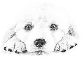 drawn golden retriever puppie pencil and in color drawn golden