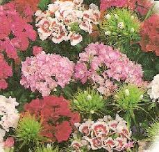 sweet william flowers how to grow sweet william annual flowers sweet william seeds
