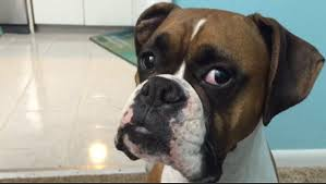 boxer dog howling video shows luke the boxer whining as his owner tells him off for