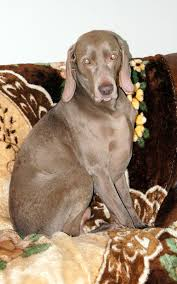 rosewin weimaraners fireplace scenes puppy yoga wet dry weims