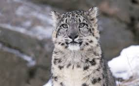 snow leopard plush donation thank you gift adoptions from wwf