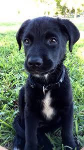 australian shepherd hound mix best 25 lab mixes ideas on pinterest labrador mix hound
