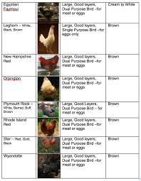 chicken breeds and their eggs with new to backyard chickens