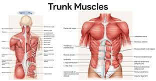 muscles of the chest and trunk
