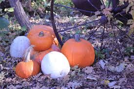 growing pumpkins guide how to grow pumpkins pro tips install