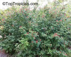 turks cap malvaviscus arboreus drummondii mallow toptropicals