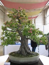 bonsai saule pleureur bonsaï cognassier du japon bonsaï pinterest cognassier