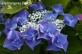 hydrangea hydrangea macrophylla nachtigall