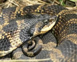 Found A Snake In My Backyard The Buckeye Herps Blog Ohio Snake Identification Venomous Or Not