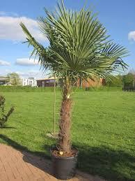 palme f r balkon palme trachycarpus fortunnei winterhart für garten balkon oder