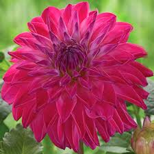 blooms flowers 38 best big blooms images on flowers cut flowers and