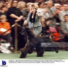 afghan hound rescue england the national westminster kennel club dog show hits manhattan