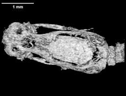 Madagascar Blind Snake Digimorph Ramphotyphlops Braminus Brahminy Blind Snake Head