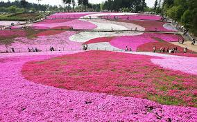 this japanese flower festival almost doesn u0027t look real travel
