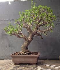 jade bonsai techniques adam s and bonsai
