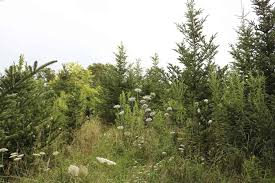 near me ideas s christmas tree farm near me ideas carlson carlson