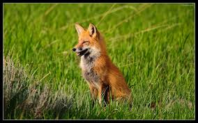 desktop fox animal images for kids wallpaper
