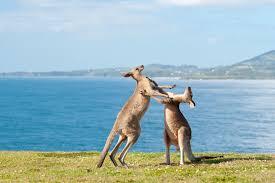 a reading place u2013 the wonderful world of the kangaroo