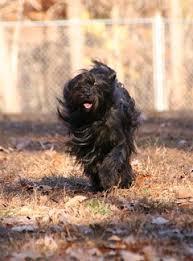 affenpinscher breeders canada links the tibetan terrier club of canada