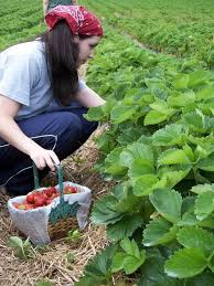 Strawberry Garden Beds 32 Best Strawberries Images On Pinterest Strawberries Fruit And