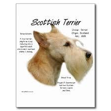 scottish yerrier haircuts scottie heaven