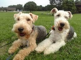 bedlington terrier guide lakeland terrier dog breed youtube