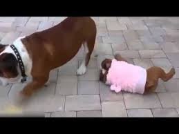 French Bulldog Meme - funny french bulldog puppy cant get up youtube
